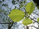Beech leaves from below
