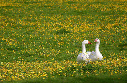 Geese in a buttercup meadow