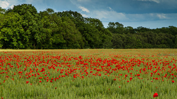 Norfolk Poppies