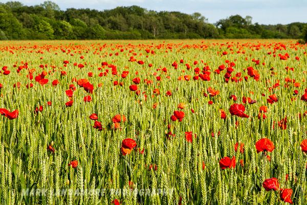 Norfolk Poppies 2