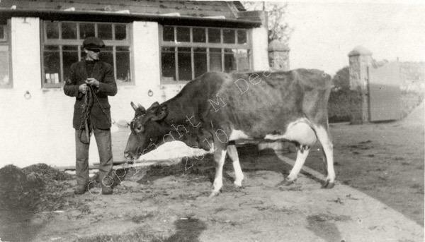 Guernsey Cow In Farmyard