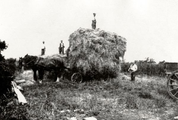 Haymaking In Guernsey 1930's