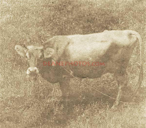 Jersey-Cow-1900-AET