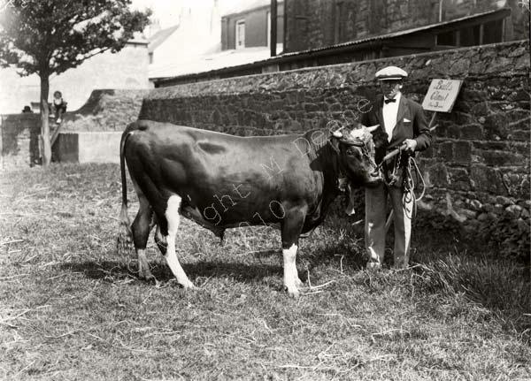 Prize Guernsey Bull