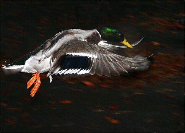 Mallard in Flight - Alan Taylor