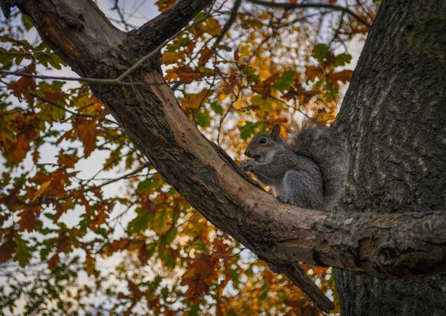 Squirrel eating in the Tree - PeterBills