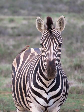 Zebra with bird - Steve Freeder