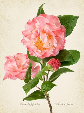 pinkcamelia