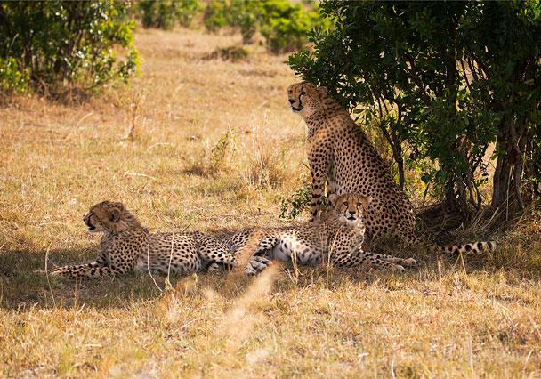 Cheetah family.
