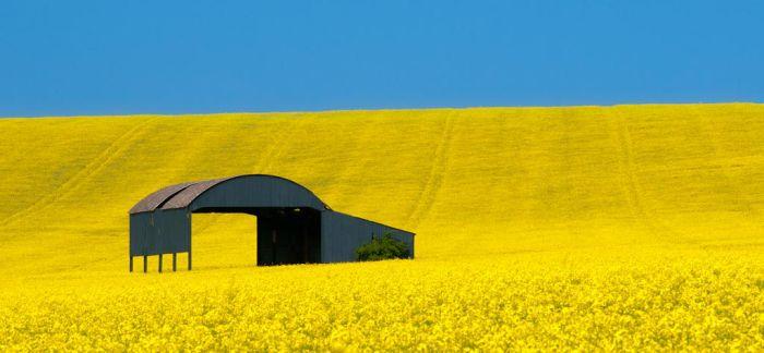 Barn in a Yellow Field