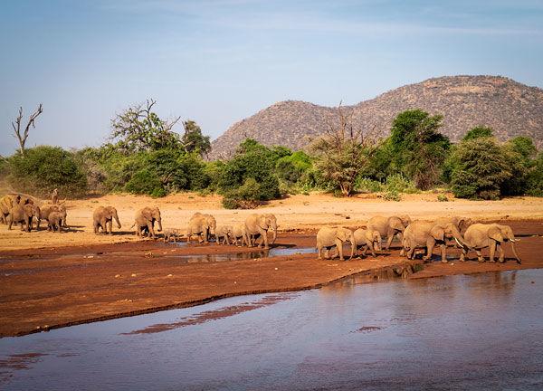 herd of elephants crossing the Ewaso Nyiro river
