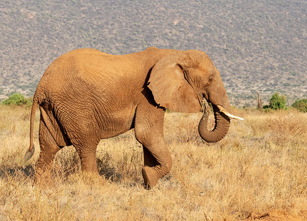 elephant feeding in Kenya's samburu national reserve