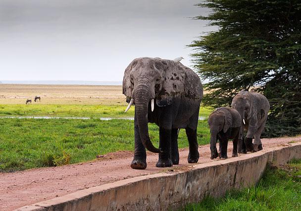 Elephants on the move.