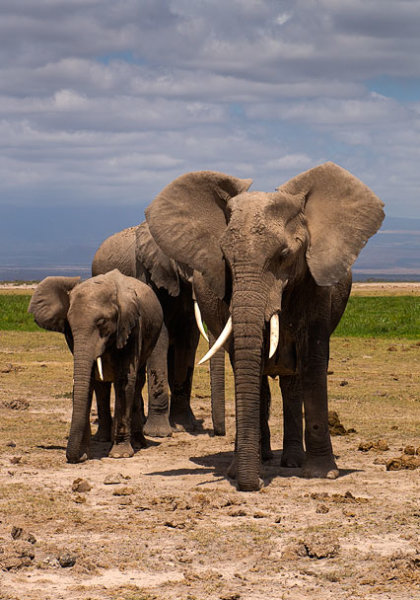 Elephants dozing.
