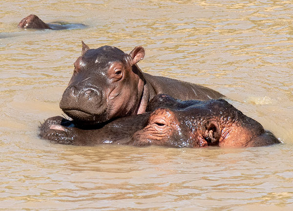young hippo with its mother in the mara river, Kenya
