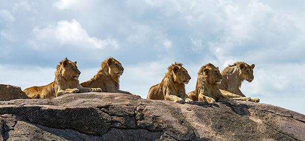 Five subadult male lions