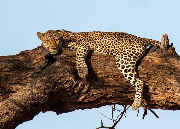 leopard resting in a tree in Samburu, Kenya