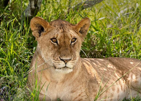 lion cub resting under the shade of a bush