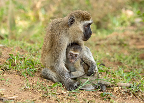 infant vervet monkey with its mother
