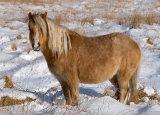 Brecon Beacons Mountain Pony
