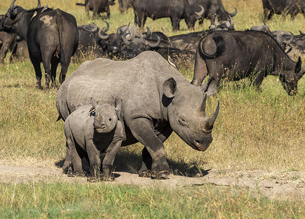 black rhino mother and baby