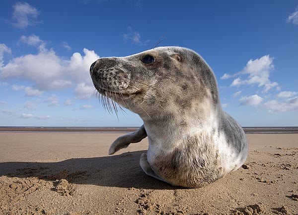 Grey seal pup - wide angle close up
