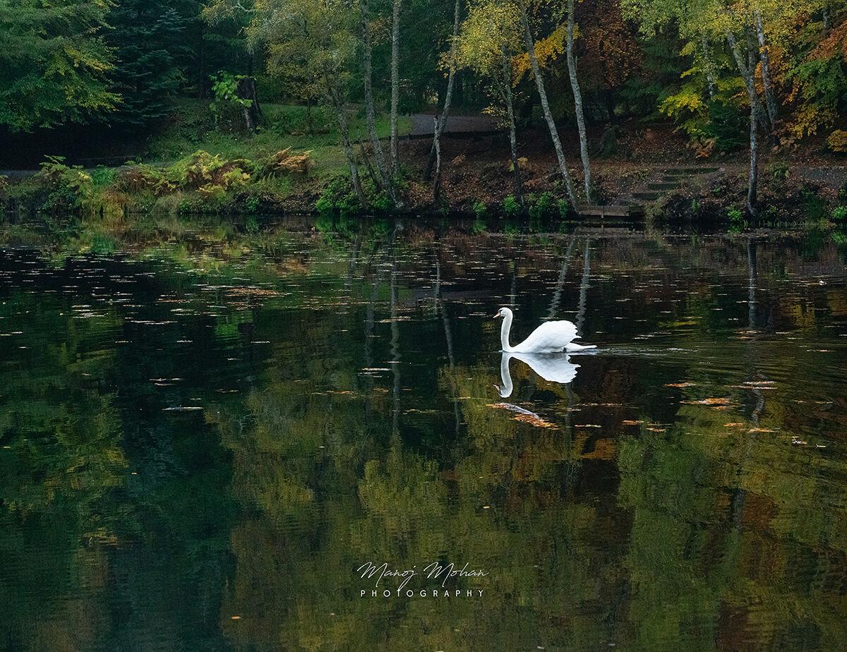 Swan at Loch Dunmore