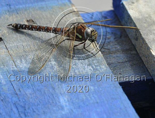 Dragon Fly on Pallets on Pier, Inis Oirr, Aran Islands Ref. # DSC9804CR