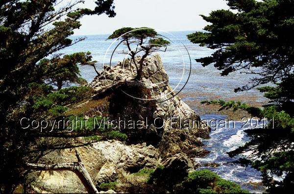 Lone Cyprus Tree, Monterey, California Ref. # F388.11