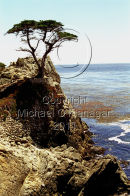 Lone Cyprus Tree, Monterey, California Ref. # F388