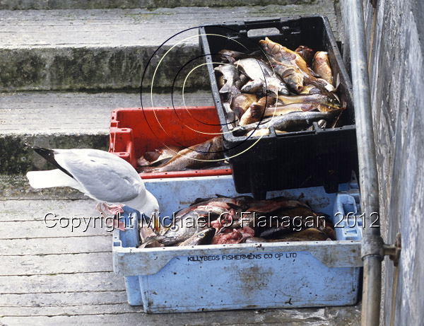 Seagull dining on fish boxes on Pier, Inis Oirr Ref. # F833.26aCR