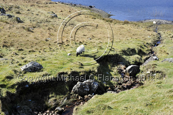 Sheep grazing on shore of Lough Inagh, Inagh Valley, Co. Galway Ref. # DSC8257