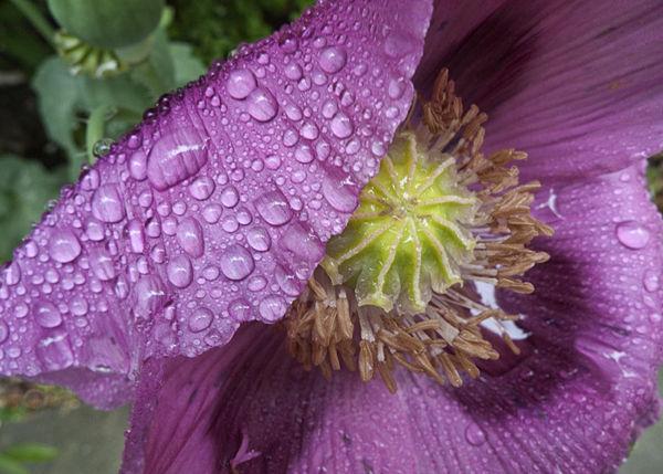 Poppy and Raindrops.