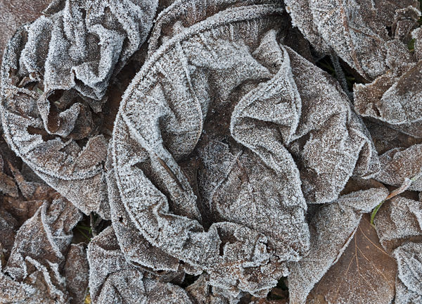 Frozen Fig Leaves