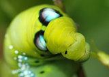 Oleander Hawkmoth Daphnis nerii atropos larva