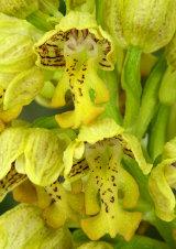 Close-up of Orchis punctulata