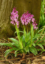 Early Purple Orchid Orchis mascula