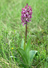 Orchis ×hybrida