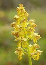 Orchis punctulata
