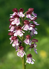 Lady Orchid Orchis purpurea