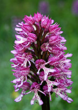 Orchis ×angusticruris