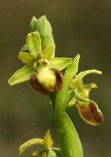 Early Spider Orchid Ophrys sphegodes var. flavescens