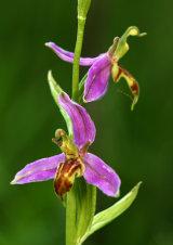 Wasp Orchid Ophrys apifera var. trolii