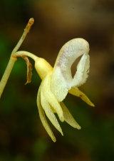 Ghost Orchid Epipogium aphyllum var. lacteum
