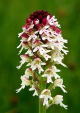 Burnt Orchid Neotinea ustulata