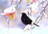 Blackbird Turdus merula with apples and snow