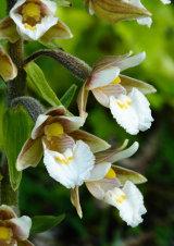 Marsh Helleborine Epipactis palustris