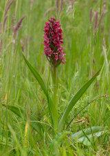 Early Marsh Orchid Dactylorhiza incarnata subsp. coccinea