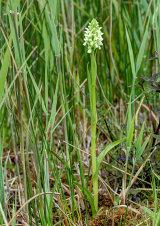 Early Marsh Orchid Dactylorhiza incarnata subsp. ochroleuca