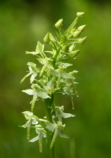 Greater Butterfly Orchid Platanthera chlorantha